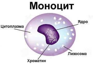 Почему моноциты повышены в крови