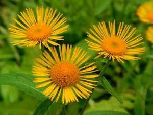 Лечебные свойства растения девясила