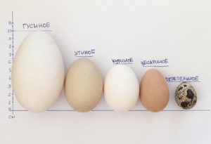 Чем полезны утиные яйца
